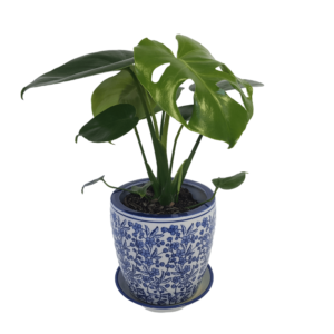 Monstera plant in white ceramic pot with denim blue floral detail