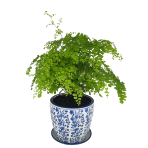 Maiden hair fern in white and blue decorative pot with saucer