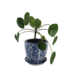 Pilea Indoor Plant in white ceramic pot with denim blue floral design