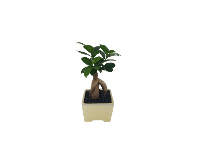 Bonsai Buddha's Belly Fig in ceramic pot